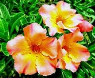 Adenium Obesum 'King Orange' 5 Seeds